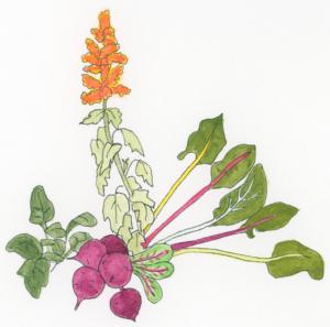 beet-plant-family-illustration