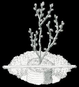 blueberry-planting-depth-illustration