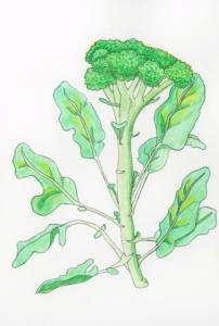 broccoli-illustration
