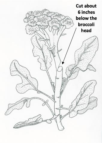 broccoli-harvest-illustration