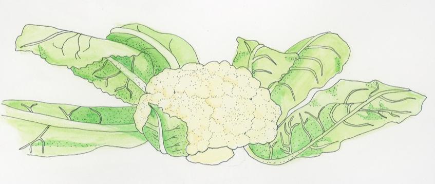 cauliflower-illustration