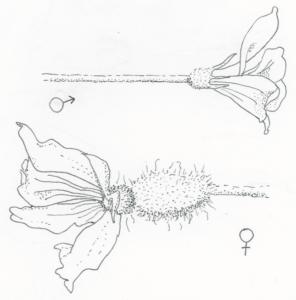 melon-monecious-illustration