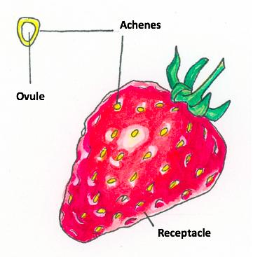 strawberry-anatomy