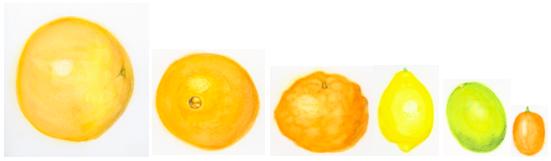 types-of-citrus-fruits-illustration
