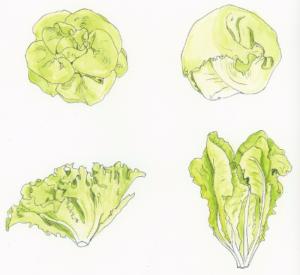 Main-types-of-lettuce