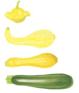 Main-types-of-summer-squash