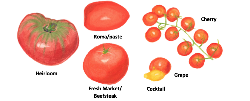 Main-types-of-tomatoes