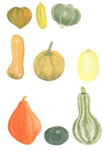 Main-types-of-winter-squash