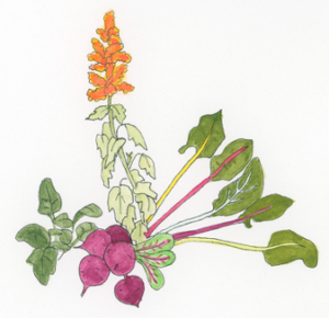 Spinach-and-Swiss-chard-belong-to-the-Chenopodiaceae-plant-family