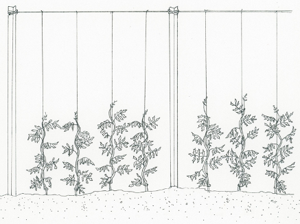 Vertical-trellis-method-for-supporting-tomato-plants