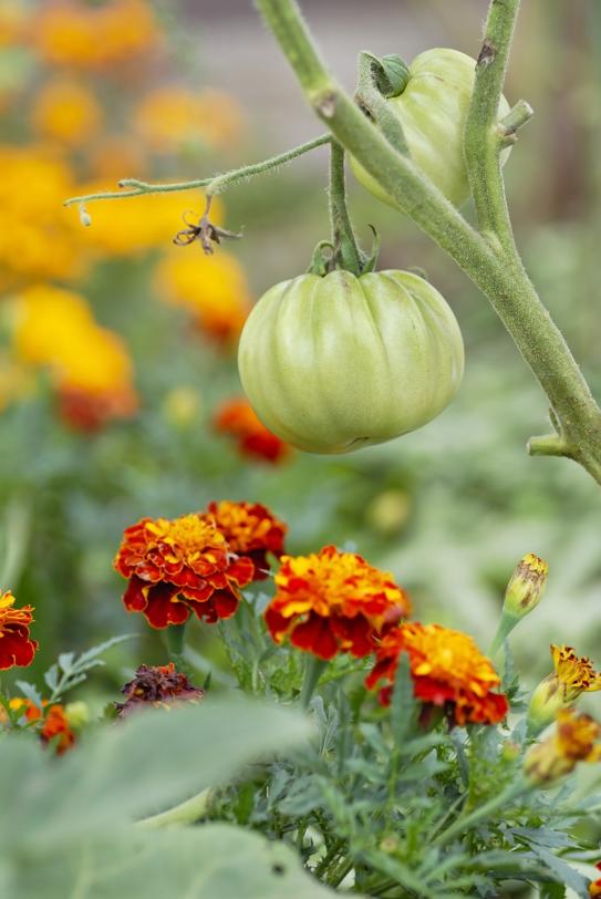 companion-planting-tomatoes-marigolds
