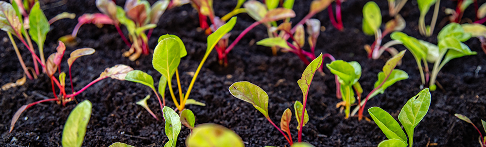 rows-of-beets