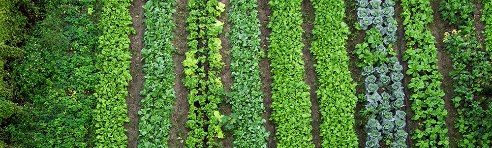 rows_of_leafy_greens_in_soil