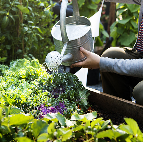 watering-a-bed-of-leafy-greens