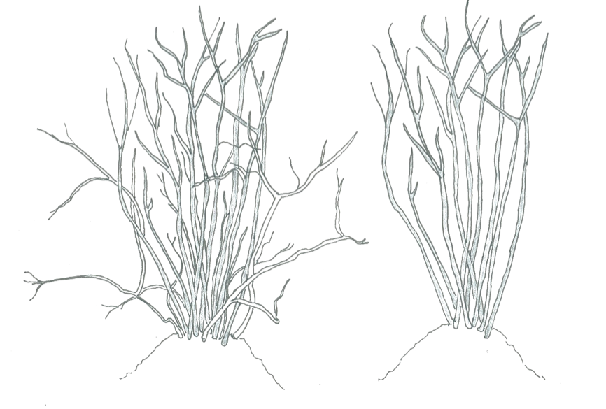 blueberry-pruning-illustration