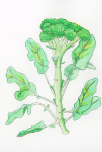broccoli-illustration