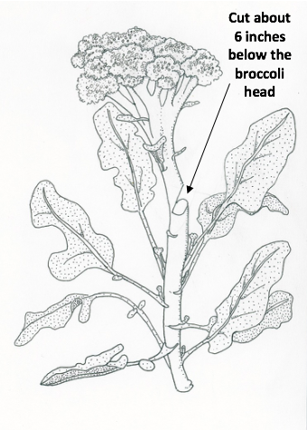 broccoli-harvest-illustration