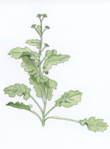 broccoli-raab-rapini-illustration