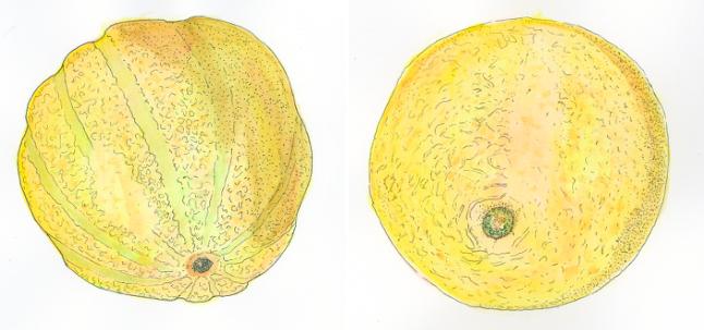 cantaloupe-main-types-illustration