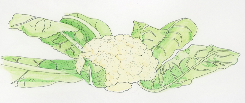 cauliflower-illustration