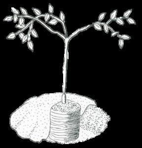 citrus-tree-planting-depth
