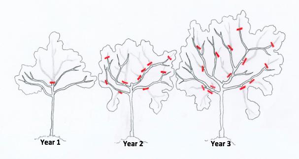 citrus-tree-pruning-illustration