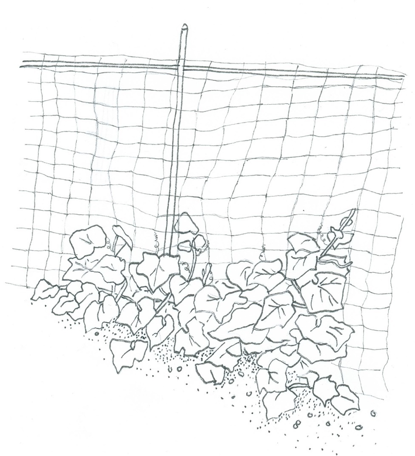 cucumber-trellis-illustration