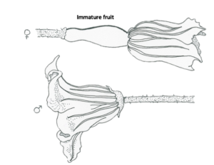 Female-(top)-and-male-(bottom)-squash-flowers