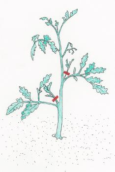 Suckering-a-tomato-plant