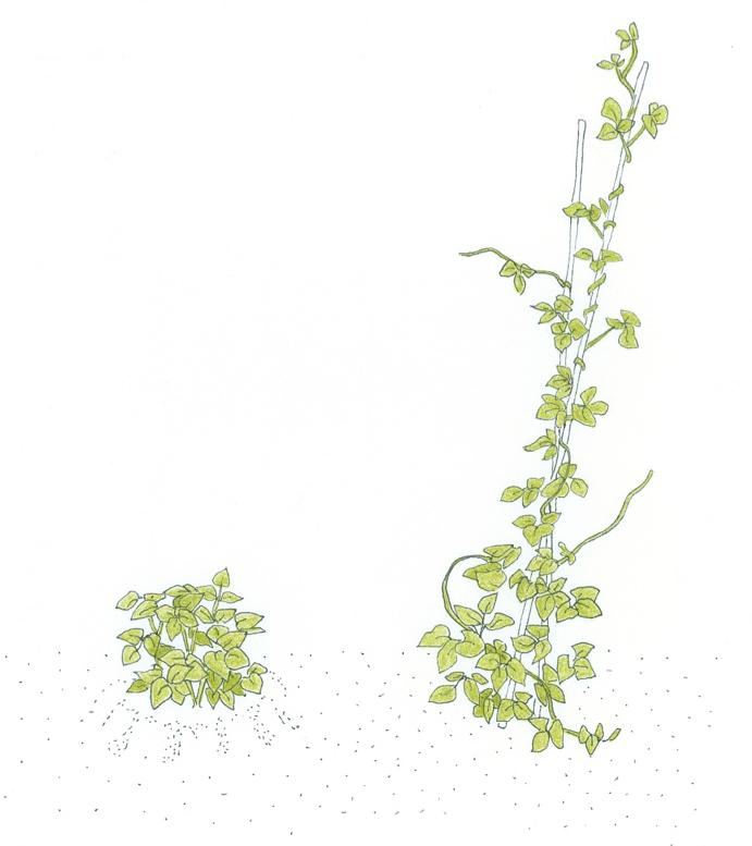 determinate-growth-example-bush-snap-beans-vs-pole-snap-beans