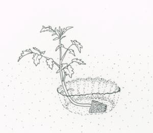 example-of-planting-tomato-plants-deep