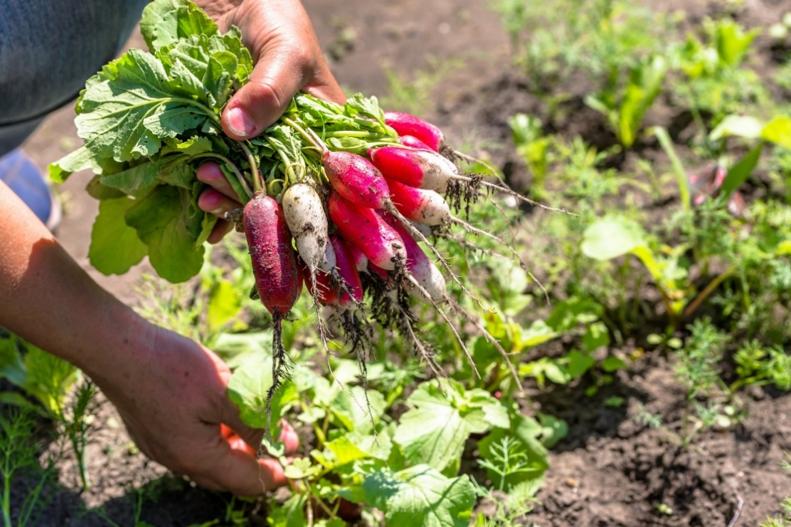 freshly-harvested-radishes