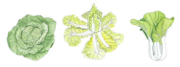 main-cabbage-types-illustration