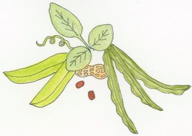 pea-plant-family-illustration