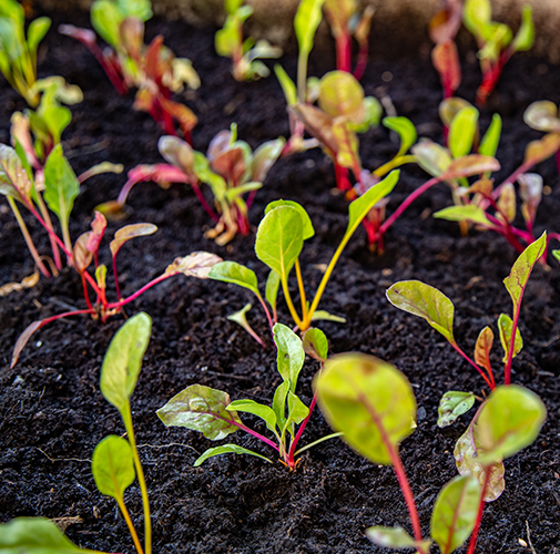 rows-of-beet-sprouts