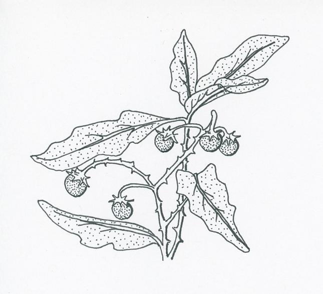 wild-eggplant-illustration